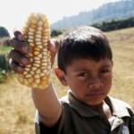 El maíz mexicano en manos de las transnacionales (I)