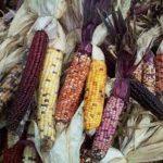 Cultivos de maíz transgénico en Colombia. Impactos sobre la biodiversidad y la soberanía alimentaria de los pueblos