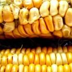 Las plantas GM ya no pueden ser retiradas del ambiente
