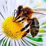 """El """"apocalipsis de la abeja"""" conducirá según el Kremlin a una guerra mundial, advertencia a Obama"""
